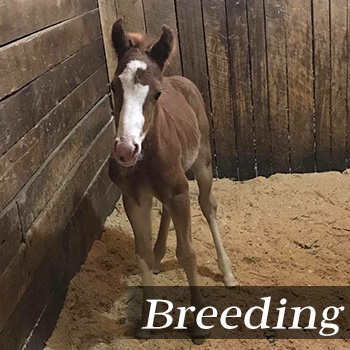 Horse Breeding Michigan